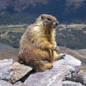 Marmots in the Mountains