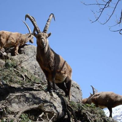 ibex-spotting-on-walk-in-Southern-French-Alps.jpg