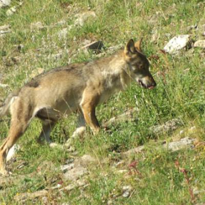 wolf tracking in the Southern French Alps a wolf