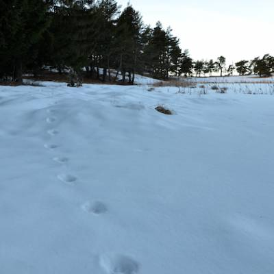 wolf tracking in the Southern French Alps a wolf track
