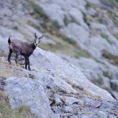 Chamois at refuge de Vallonpierre