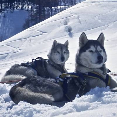 Husky Dog Sledding two proud huskies