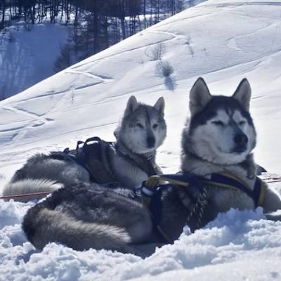 Husky Dog Sledding two proud huskies
