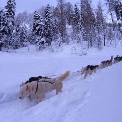 Husky Dog Sledding in the snow
