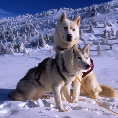 Husky Dog Sledding - the huskies