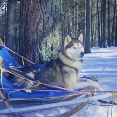 Husky Dog Sledding dog in sled