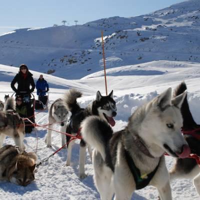 Husky sledding in Orcieres lots of huskies