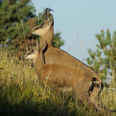 chamois-with-baby-chamois-in-the-alps.jpg