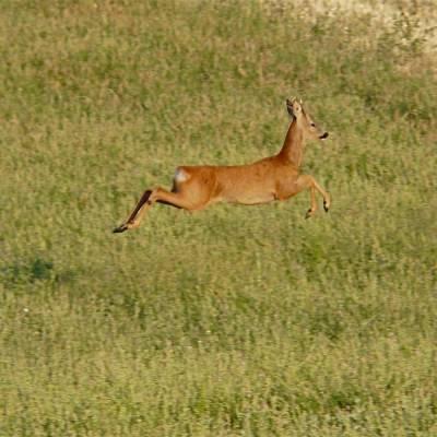 Roe-deer-in-the-Alps.jpg