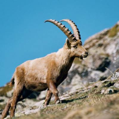 ibex-wildlife-Alps.jpg