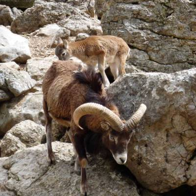 mouflon-in-the-Alps.jpg