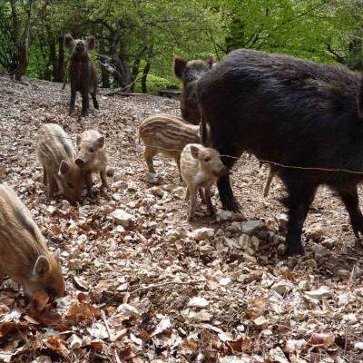 wild-boar-in-the-alps-(1-of-1).jpg