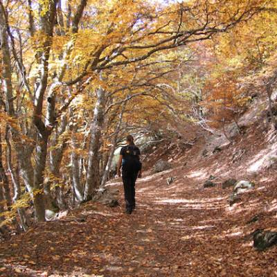 Walking in the French Alps in the Autumn through beech trees
